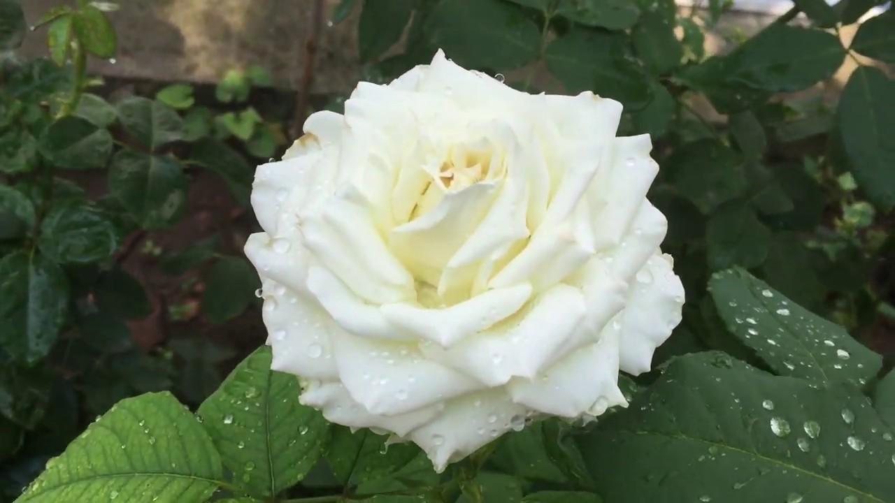 Роза Боинг, третья волна цветения! Сад после дождя.
