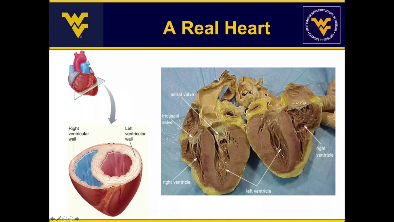 Play The Cardiovascular System: How do we get blood to the organs and exercising tissues?