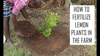 Organic fertilizer for lemon plant / Best fertilizer for Citrus plants / Fertilize Lemon Tree