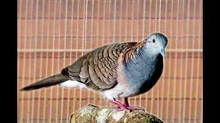Gambar cover Kicau Burung Perkutut Gacor Suara Bikin Adem