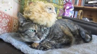 Коты и Петухи. О взаимоотношениях ! Всякое бывает. /Cats and Cocks