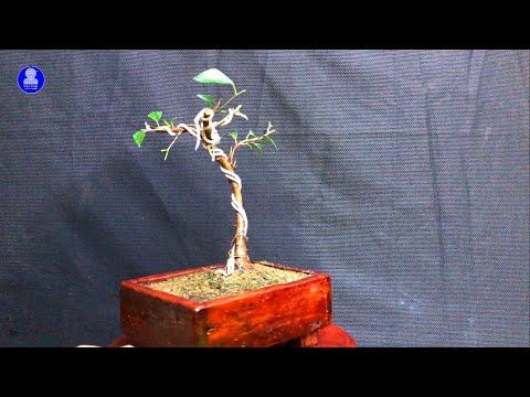 [Bonsai] Thay chậu, trồng lại cây Sanh S3 | Repot and replant Ficus benjamina