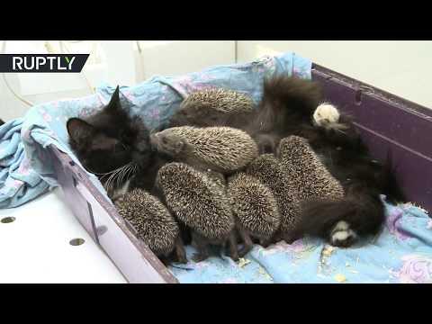 Poes adopteert egeltjes zonder moeder