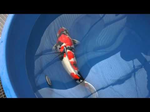 自慢の一品鯉コーナー Vol.2 昭和三色 4歳 72cm