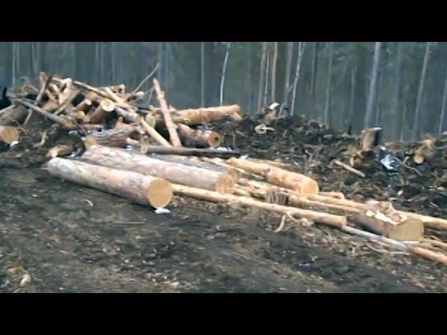 В Приангарье ликвидировали банду чёрных лесорубов.