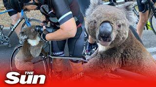 Koala begs cyclists for water in Australia heat as bushfires kill 30 per cent of the species