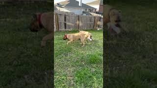 Cane Corso Puppies Videos