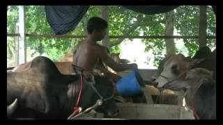 Tangail Cow Footage 1