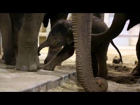 العرب اليوم - شاهد: أنثى فيل تُساعد مولودها في أولى خطواته