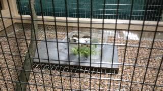Society finches taking bath