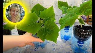 🌹🌹🌹РАССАДА ОГУРЦОВ НА ФИТИЛЬНОМ ПОЛИВЕ ! Посев и выращивание