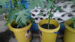 Growing Papaya In Container Part 3 (Watering, Thinning, Fertilizing)