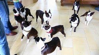 Boston Terrier vom Tangrintl-Treffen 2014 Deutschland Österreich