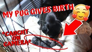 MY PREGNANT PUG DOG GIVES BIRTH TO 4 PUPPIES *CAUGHT ON CAMERA GIVING BIRTH* EMOTIONAL!