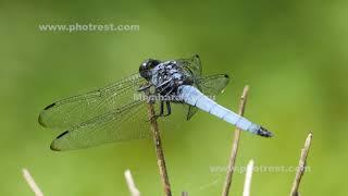 飛翔するオオシオカラトンボ