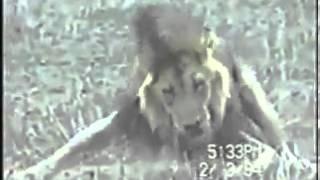 La Mort D'un Lion En Direct