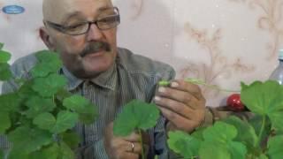 Черенкование герани — правила размножения цветка