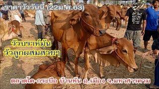 ราคาวัววันนี้ (22ม.ค.63)วัวบราห์มัน วัวลูกผสมสวยๆราคาถูก ตลาดบ้านหัน อ.เมือง จ. มหาสารคาม