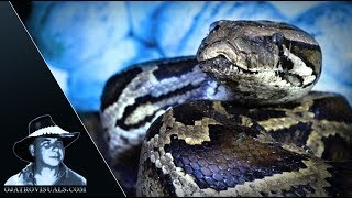 Aggressive Burmese Python Incubating 01