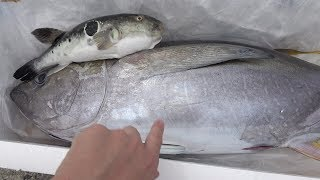 訳アリ?この魚すべて『0円です』 0円での巨大マグロのお味はいかに?