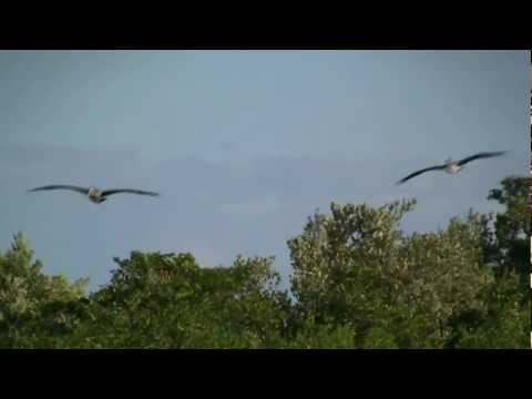 (HD) Birds of Sian Ka'an – Brown Pelican, Osprey – Biosphere Reserve, Mexico