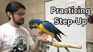 Practicing Step Up With Blue and Gold Macaw