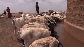 LIVE CATTLE - La pérdida de ganado crea una situación catastrófica en Kenia