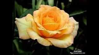 YELLOW ROSES.........DOLLY PARTON