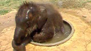 Cute Baby Elephant Plays In a Drinking Basin