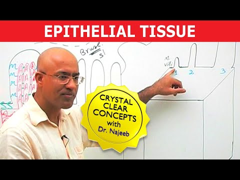 Epithelial Tissue – Structure & Function