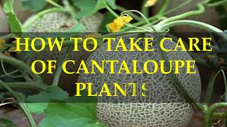 HOW TO TAKE CARE OF CANTALOUPE PLANTS