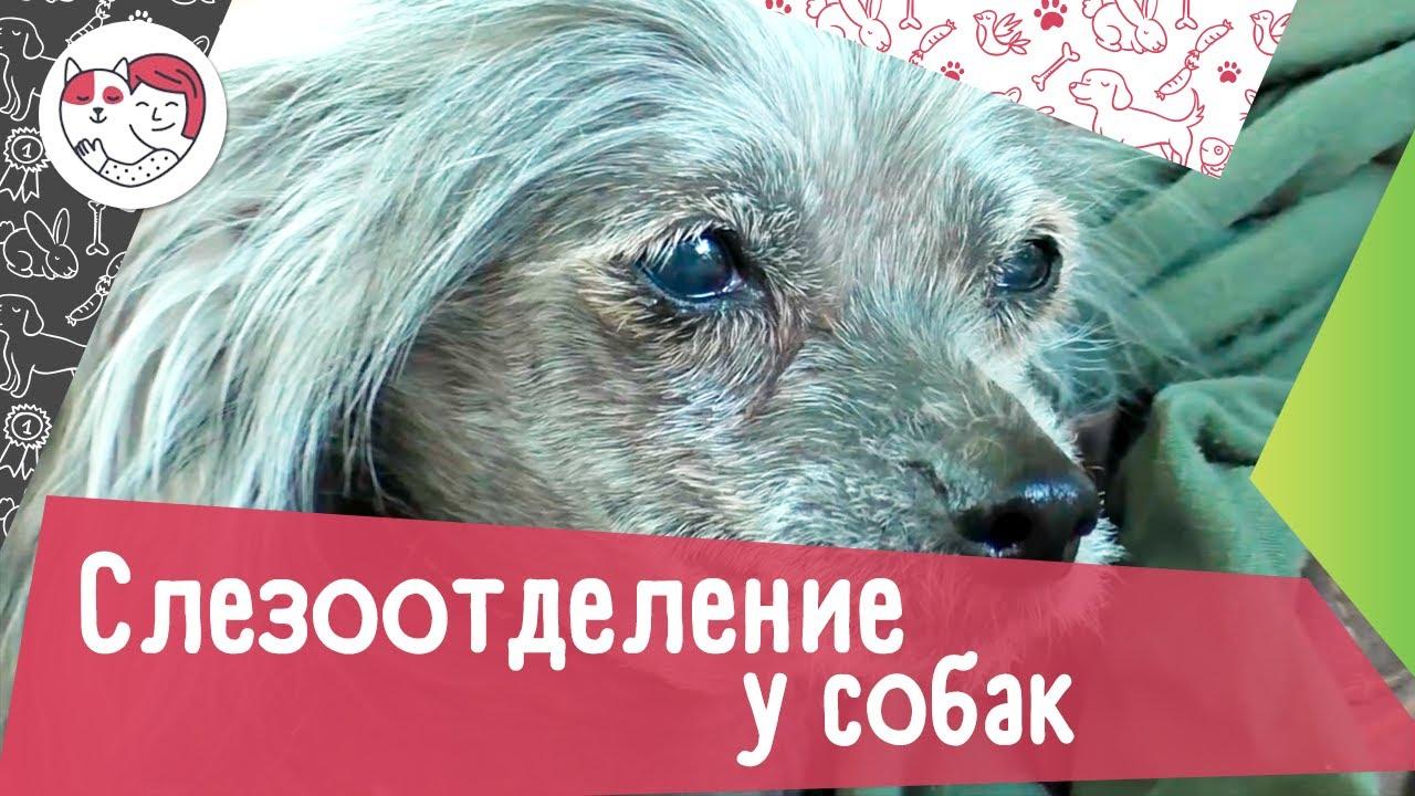 5 самых распространенных причин, почему у собак слезятся глаза
