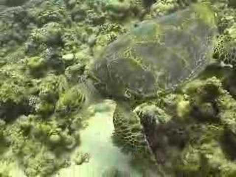 Schildkröte, Canyon (Dahab),Ägypten
