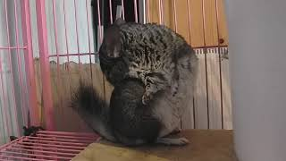Cute Chinchilla licking his fur
