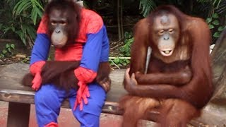 Funny Orangutans in Safari World