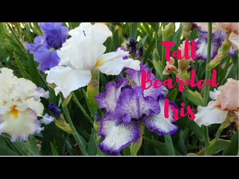 Tall Bearded Iris Ensemble 2018 - A Collection of Tall Bearded and Space-Age Iris