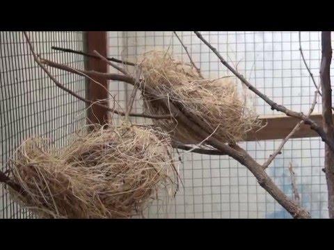 Video cara ternak burung berkicau prenjak sawah