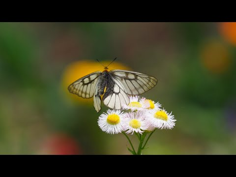 5月のぼくの庭のチョウ (小諸)