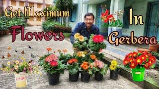 Caring Of Gerbera For Getting Maximum Flowers