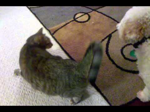 Dog Humps Cat #2