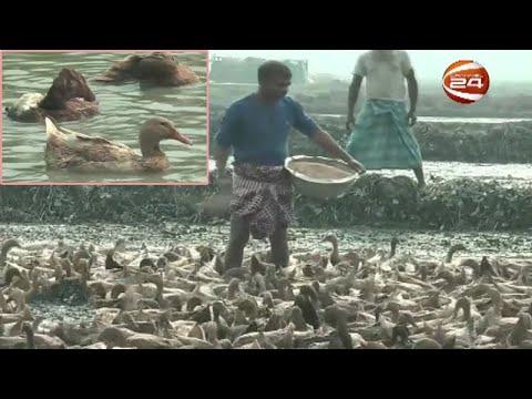 ভ্রাম্যমাণ হাঁসের খামারে স্বাবলম্বী টাঙ্গাইলের আমিনুল