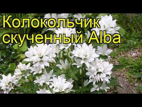 Колокольчик скученный Альба (Alba). Краткий обзор, описание характеристик, где купить саженцы