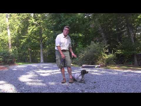 German Shorthaired Pointer Puppy Training North Carolina | Dottie