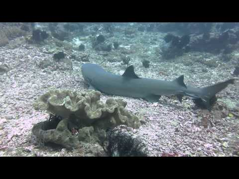 Whitetip reef shark in Tanjung Sari in Indonesia