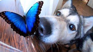 НОВЫЕ ПИТОМЦЫ! Хищный хаски и большие бабочки. Домашний бабочкарий.
