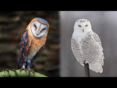 The 10 Most Beautiful Owl Species in the World