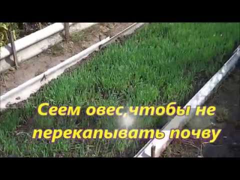Сеем овес,чтобы не перекапывать почву