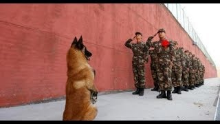 Extreme Trained & Disciplined Belgian Malinois Dogs