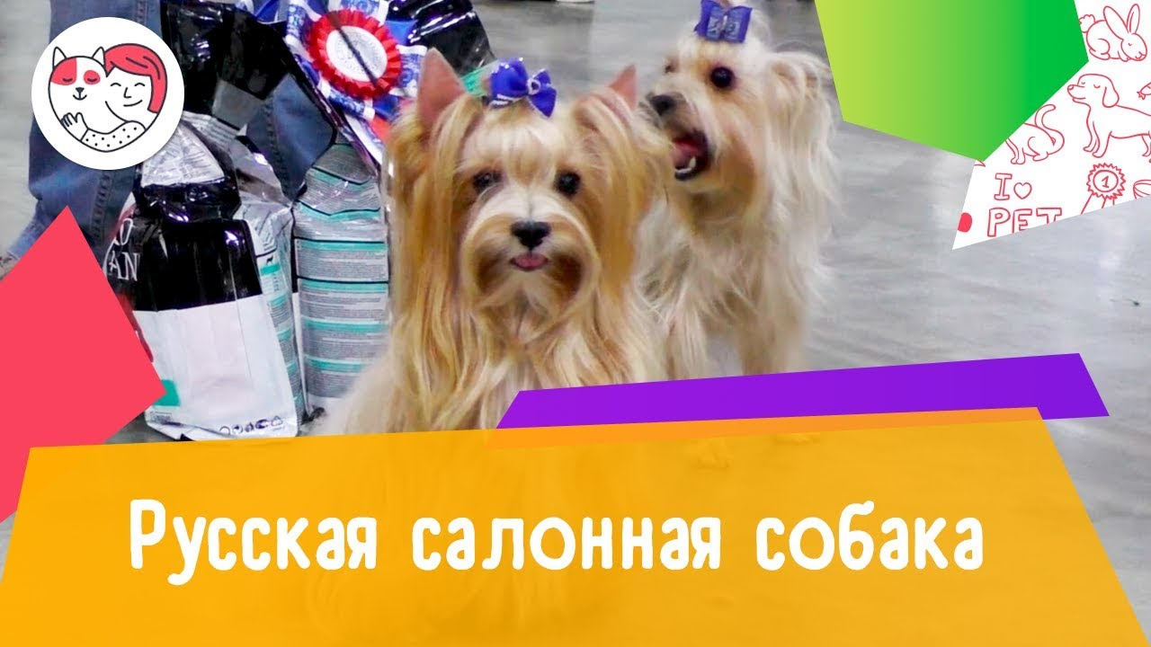 Русская салонная собака. Особенности. Уход