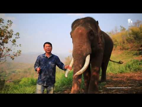 Elephant Tusks Trimming for Healthcare - The reason of uneven tusk